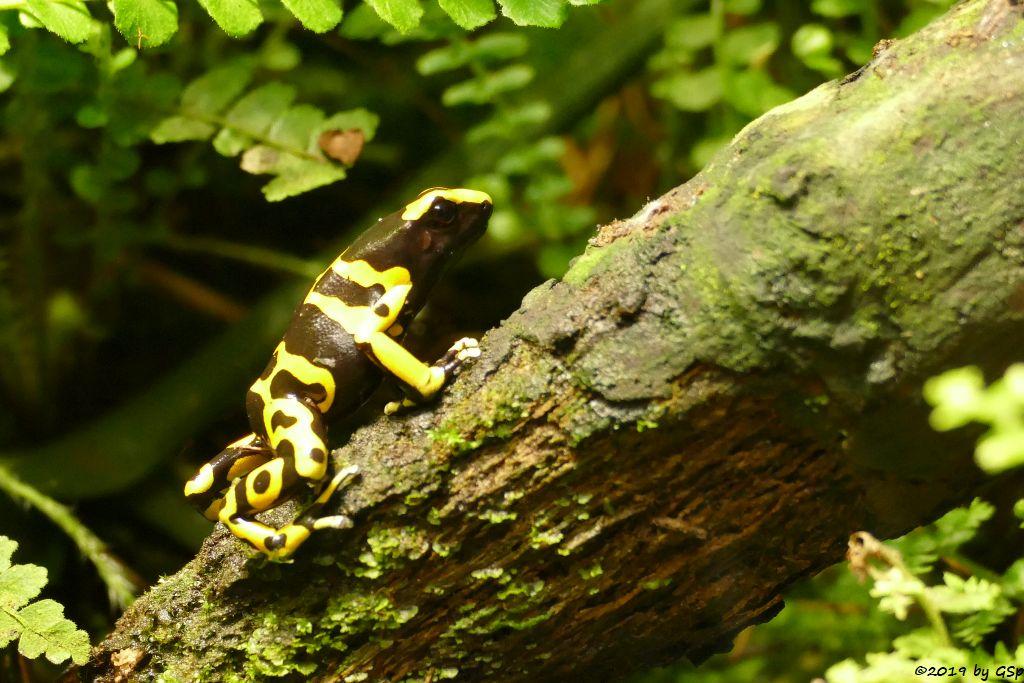 Gelbgebänderter Baumsteiger (Gelbbinden-Baumsteiger)