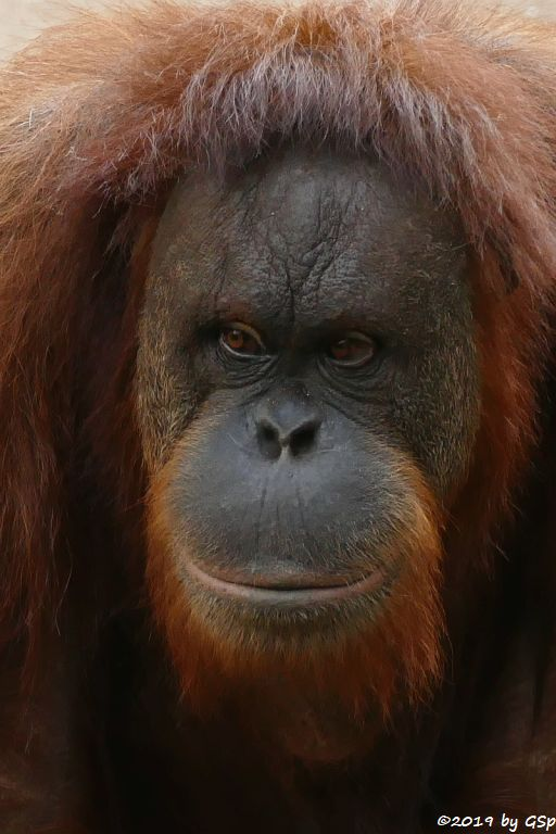 Sumatra-Orang-Utan