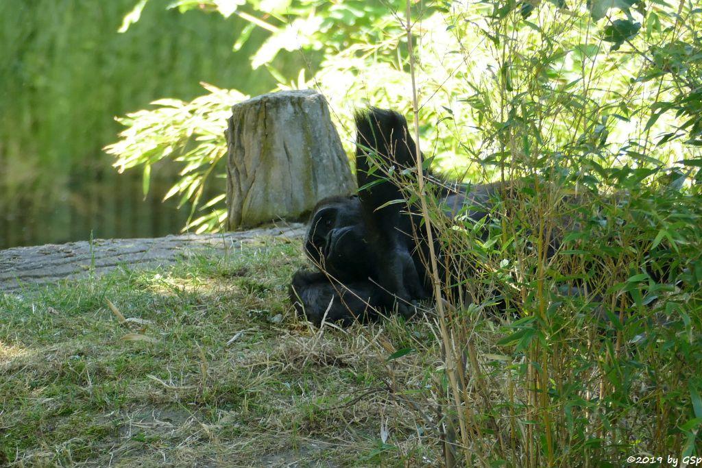 Westlicher Flachlandgorilla