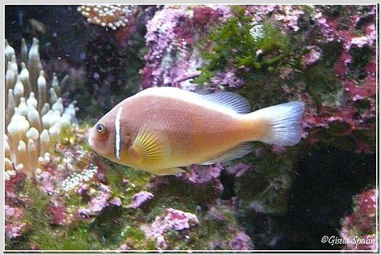 Kragen-Weißrückenclownfisch