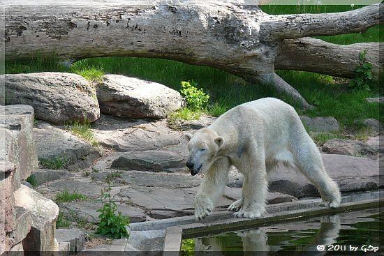 Eisbär FELIX