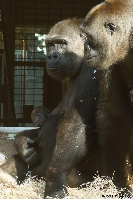 Flachlandgorilla DIAN mit ihrer Tochter (15 Tage alt) und SHIRA