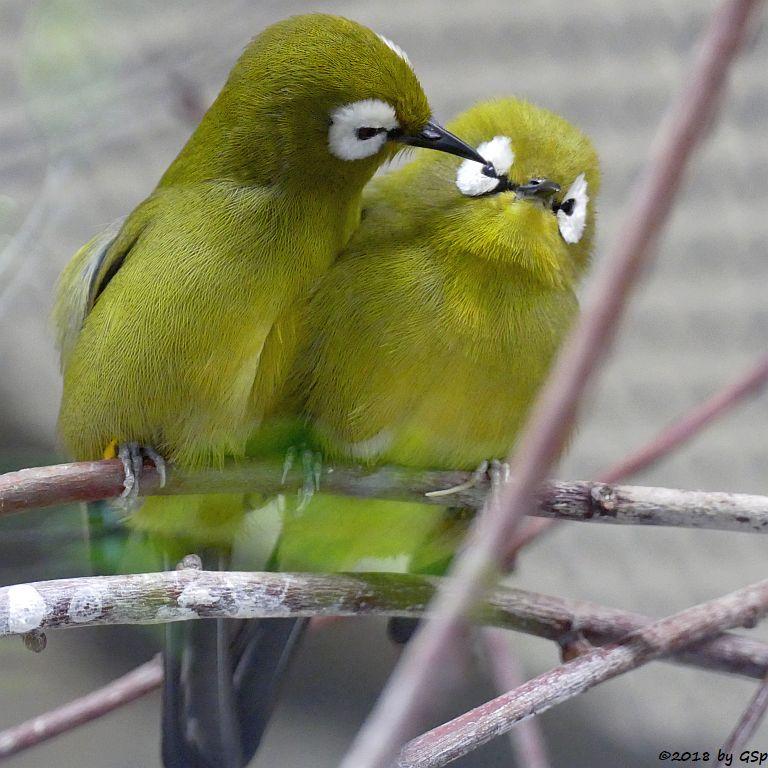 Kilimandscharo-Bergbrillenvogel