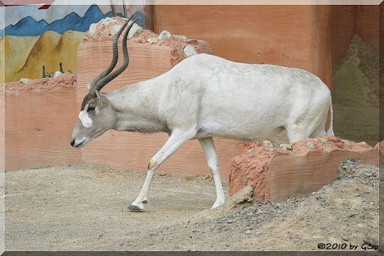 Addax (Mendesantilope) und Somali-Wildesel