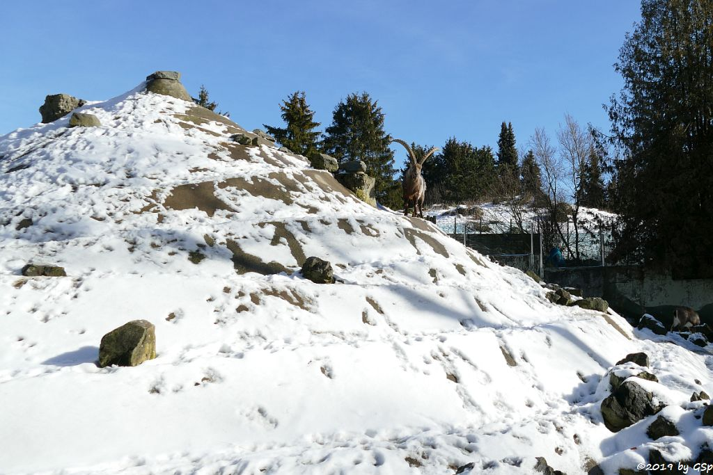 Alpensteinbock