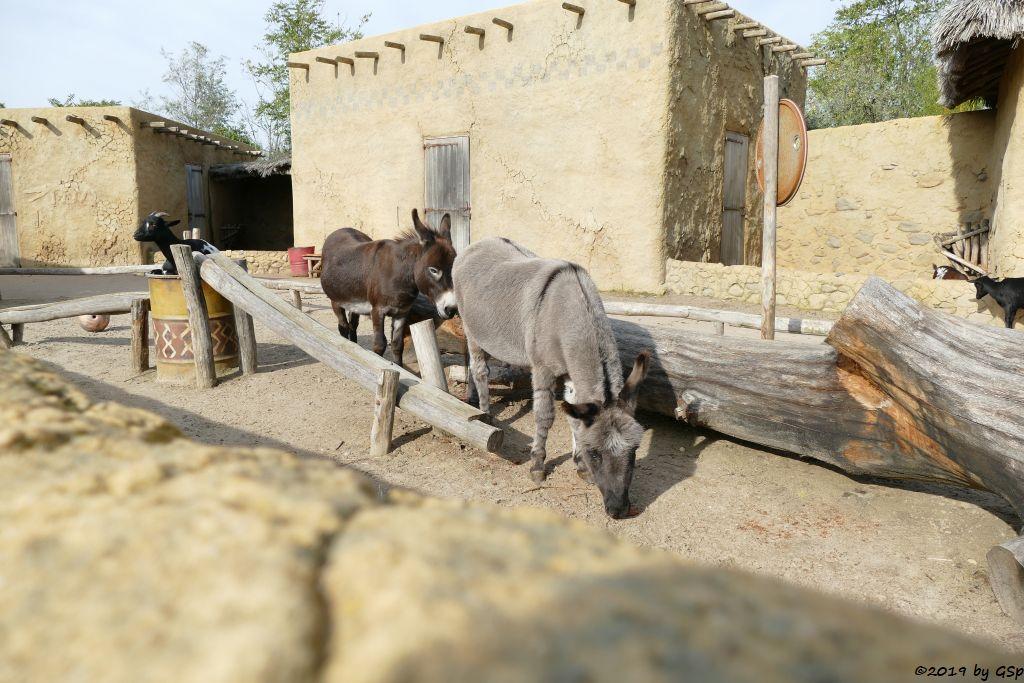 Afrikanische Zwergziege (Westafrikanische Zwergziege, Kamerun-Zwergziege), Zwergesel