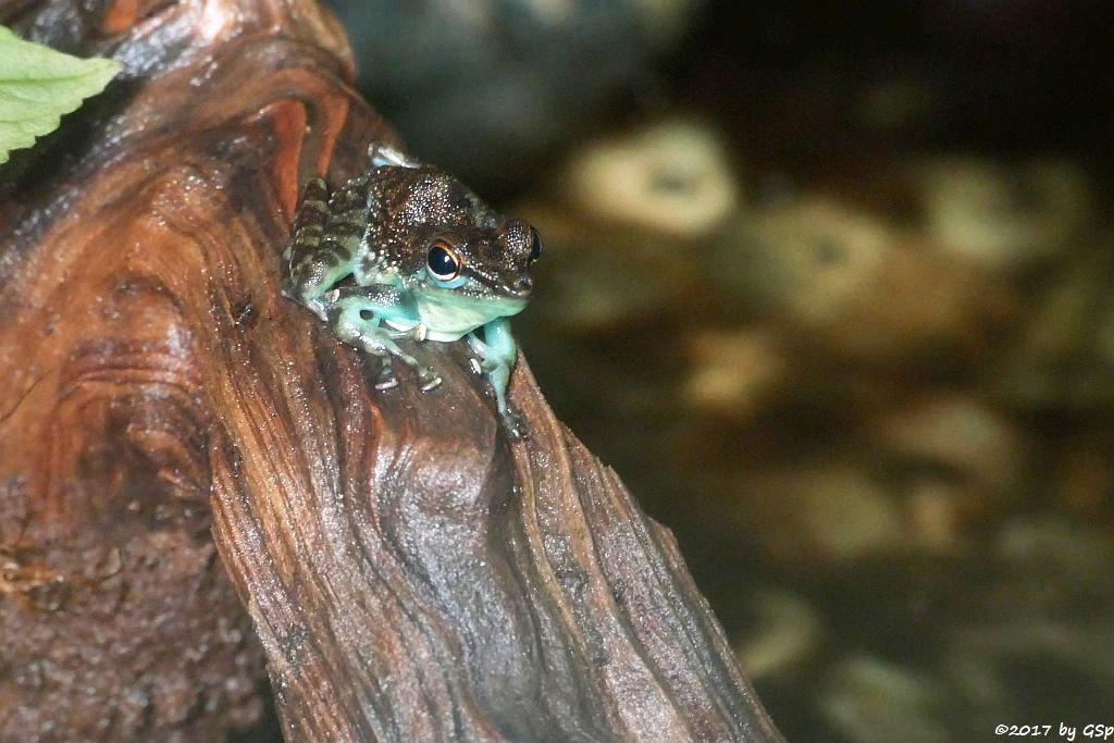 Kleiner Winkerfrosch (Kleiner Borneo-Winkerfrosch)