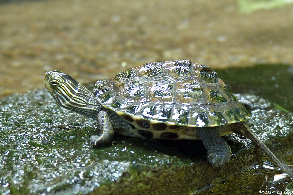 Chinesische Streifenschildkröte