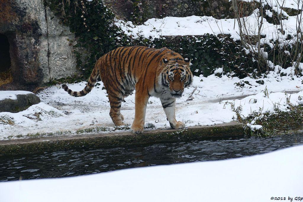 Amurtiger (Sibirischer Tiger, Mandschu-Tiger) JEGOR