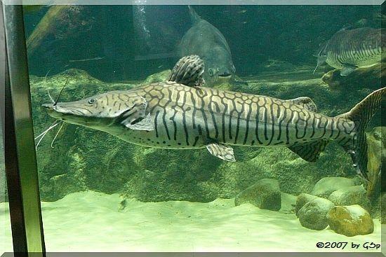 Tigerspatelwels