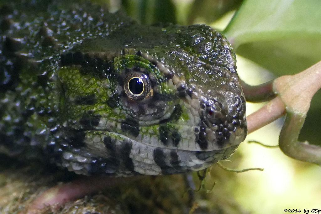 Krokodilschwanzechse