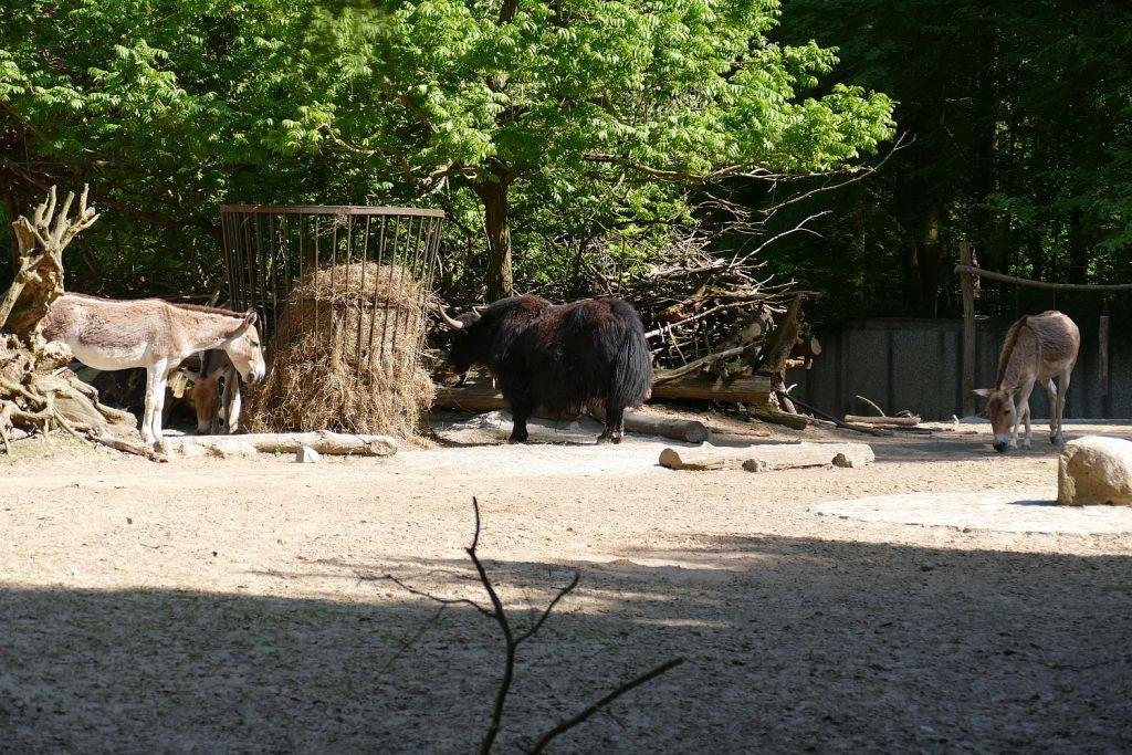 Kulan (Turkmenischer Halbesel), Hausyak