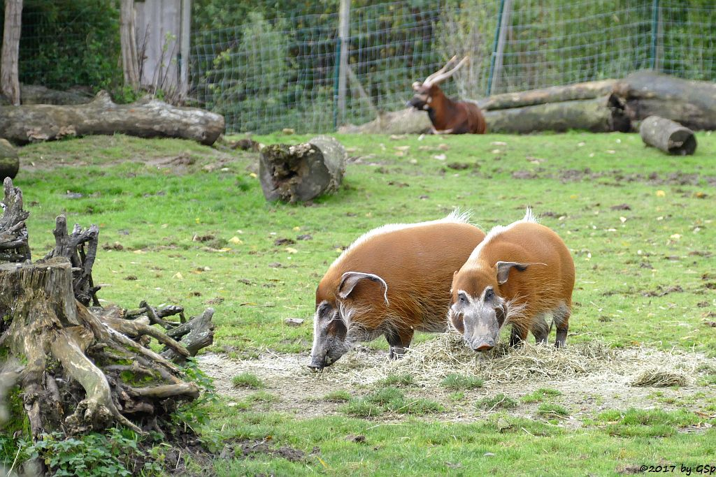 Pinselohrschwein (Rotes Flussschwein), Östlicher Bongo (Kenia-Bongo, Bergbongo)
