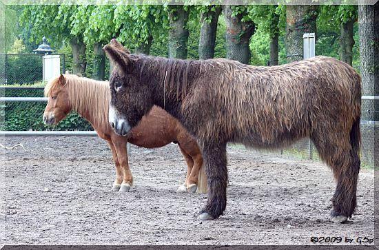 Poitou-Esel und Shetland-Pony