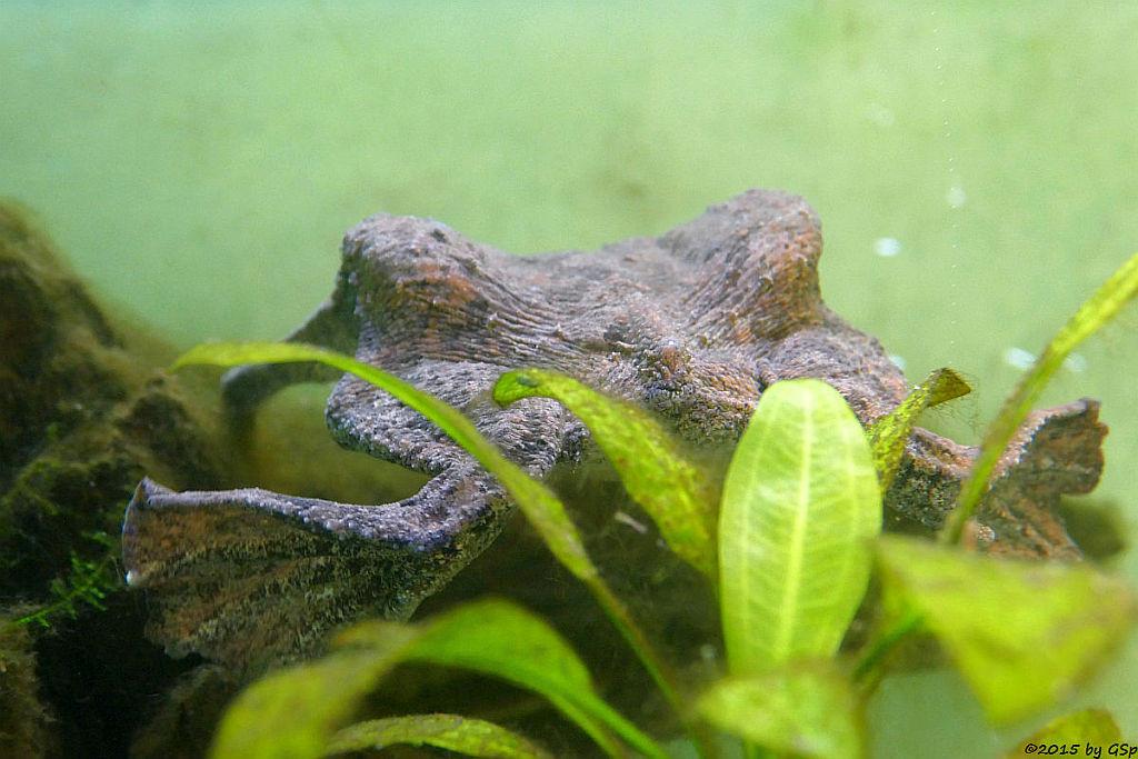 Große Wabenkröte