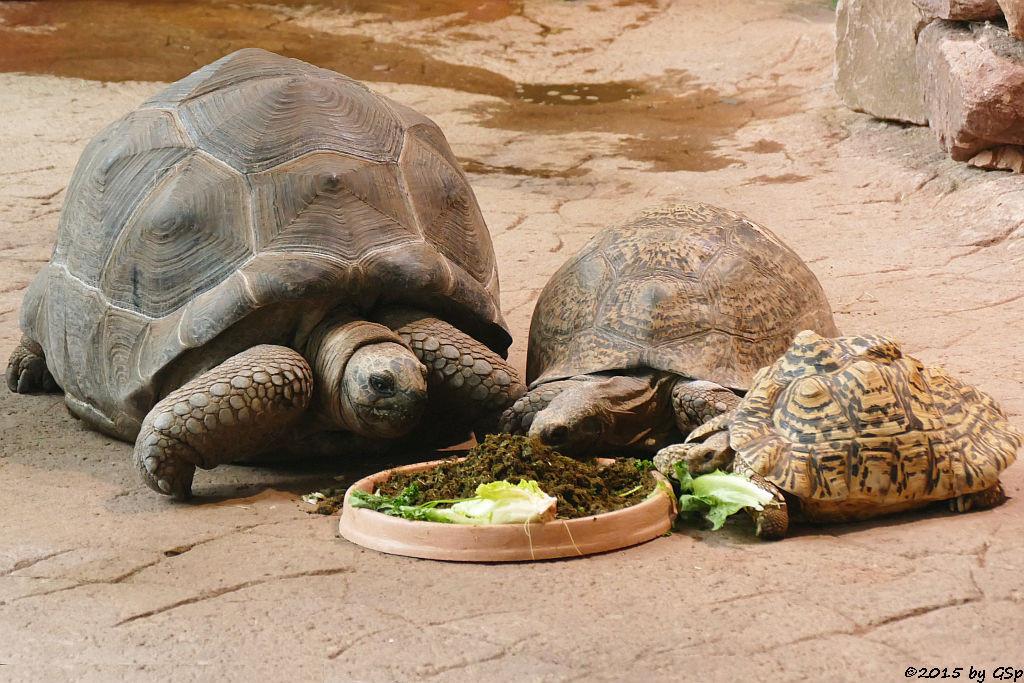 Aldabra-Riesenschildkröte, Strahlenschildkröte, Panhterschildkröte