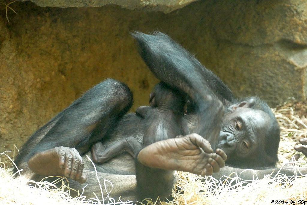 Bonobo BASHIRA mit ihrem Baby, geb. am 29.7.16 (8 Wo alt)