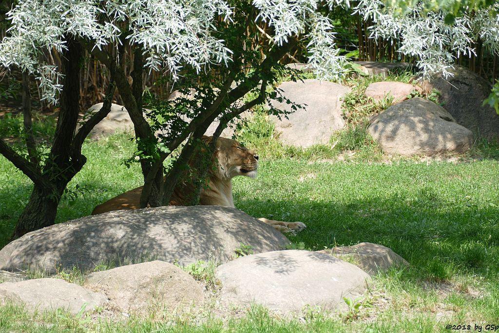 Kalahari-Löwe (Etoscha-Löwe, KIGALI und MAJO