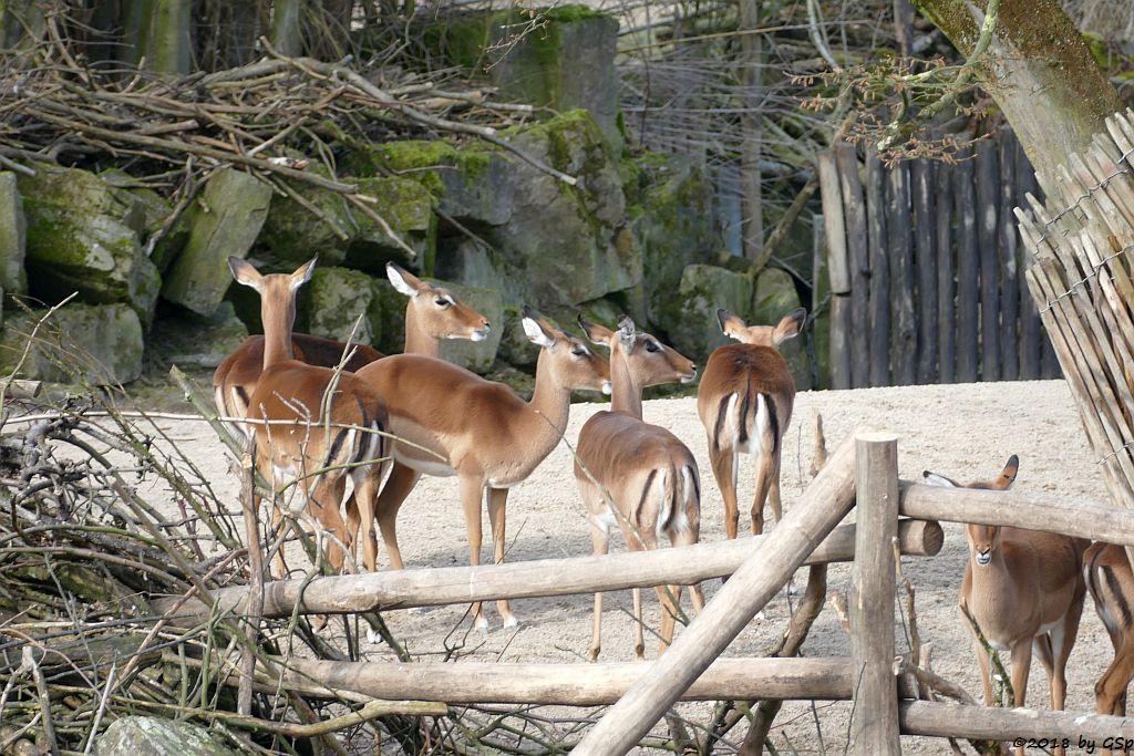 Gewöhnliche Impala (Schwarzfersenantilope)