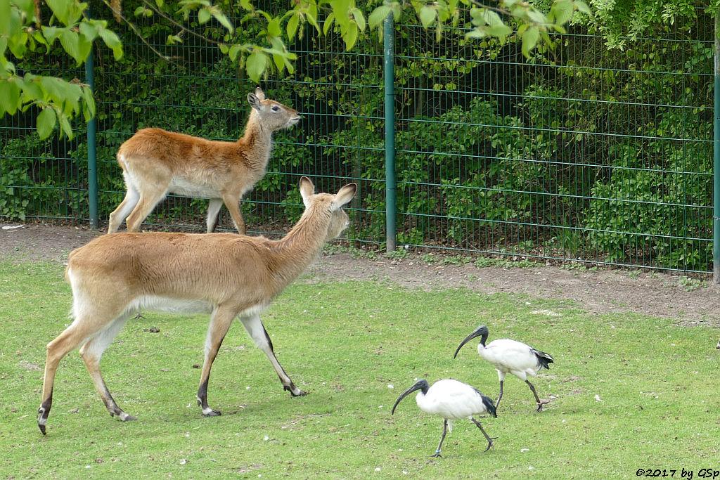 Kafue-Litschi (Letchwe, Kafue-Litschi-Wasserbock), Heiliger Ibis