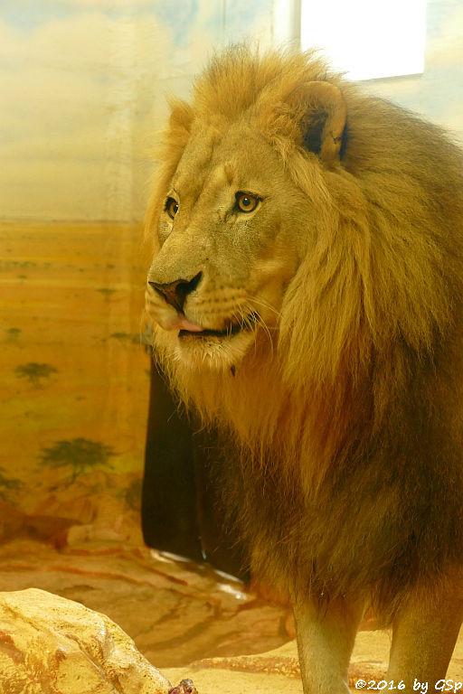 Angola-Löwe  (Katanga-Löwe) EISI