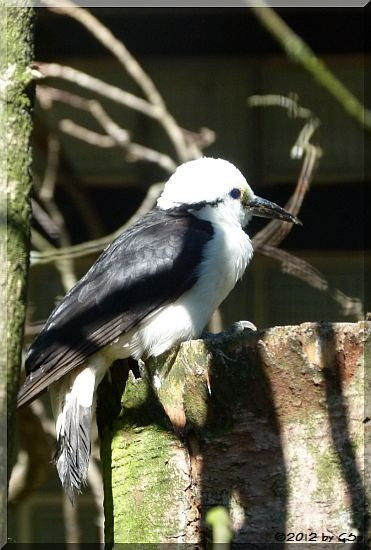 Weißkopf-Bülbül