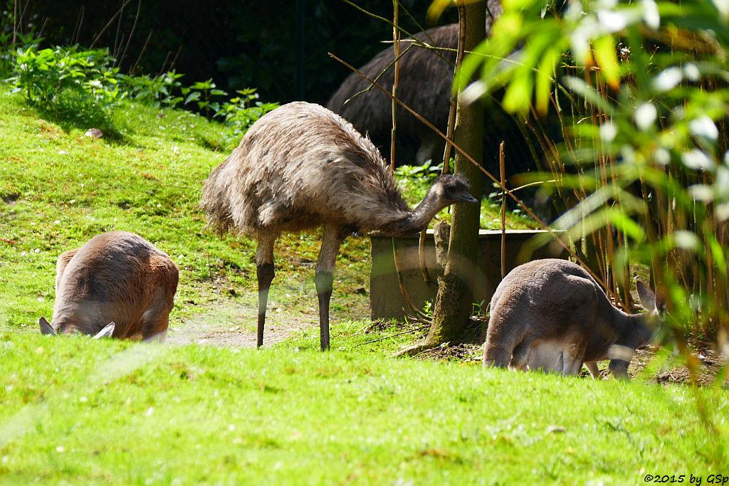 Rotes Riesenkänguru, Emu