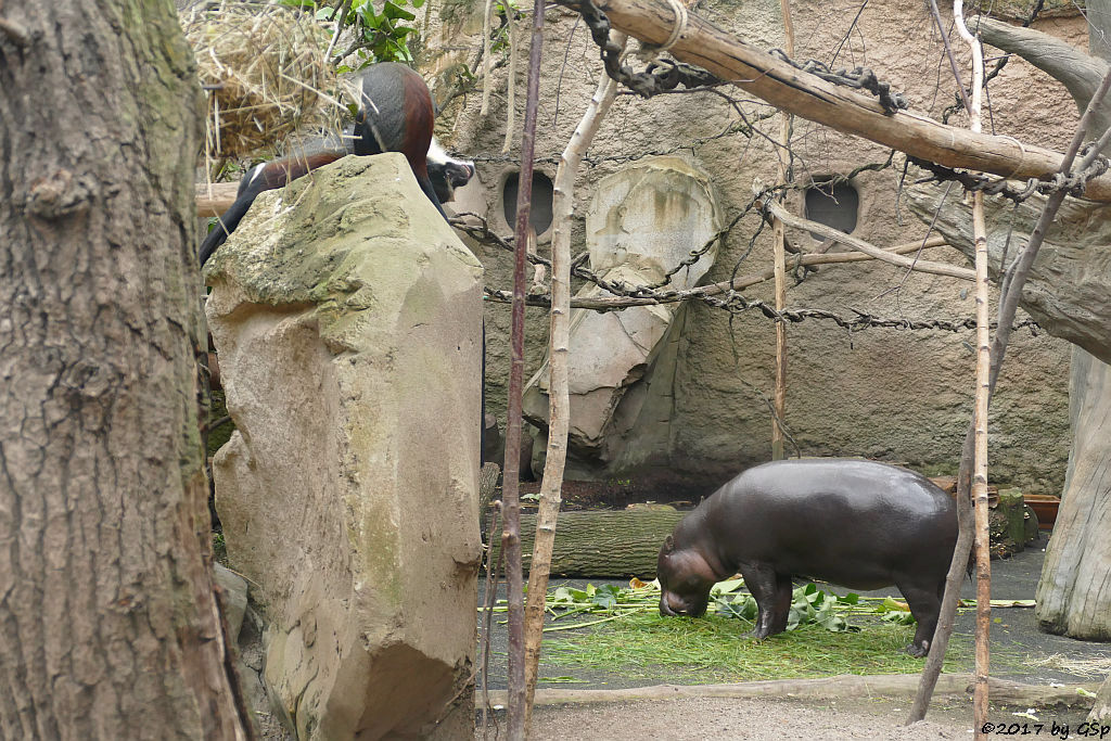 Diana-Meerkatze, Westliches Zwergflusspferd