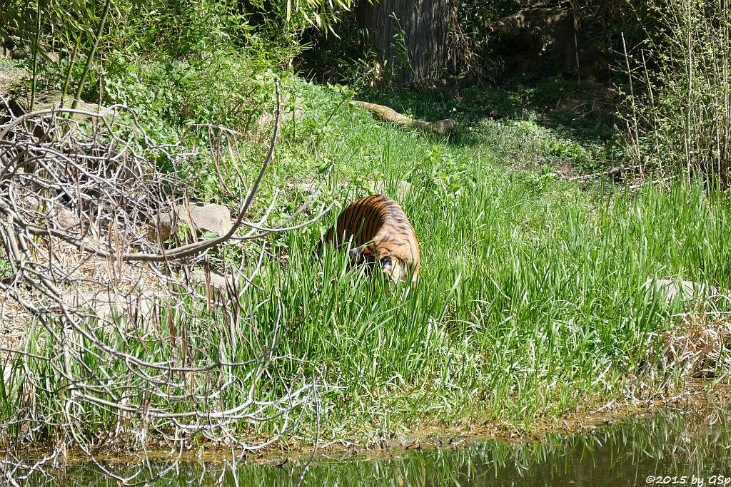Sumatratigerin MALEA