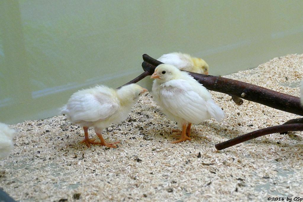 Hühnerküken 2. Lebenswoche