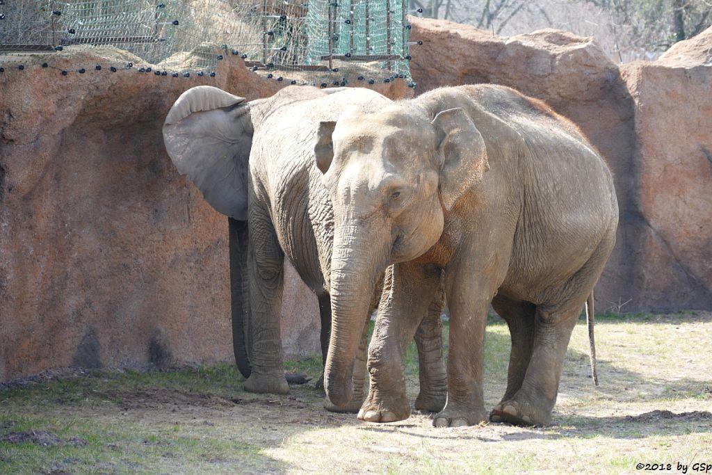 Afrikanischer Elefant MWANA und Asiat. Elefant BIRMA