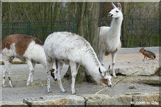 Lama und Mara