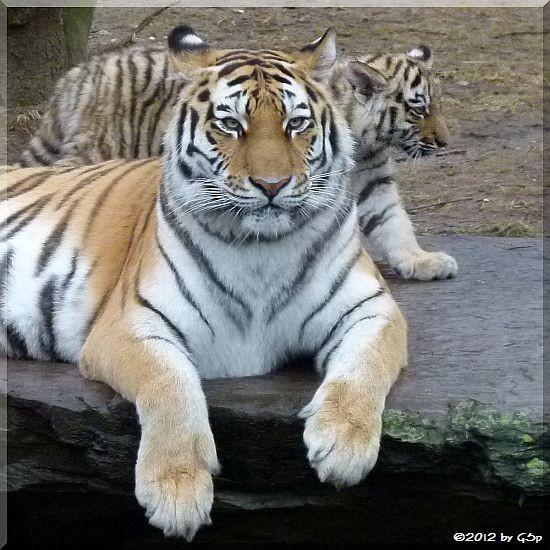 Sumatra-Tigerin HANYA mit Sohn JEGOR