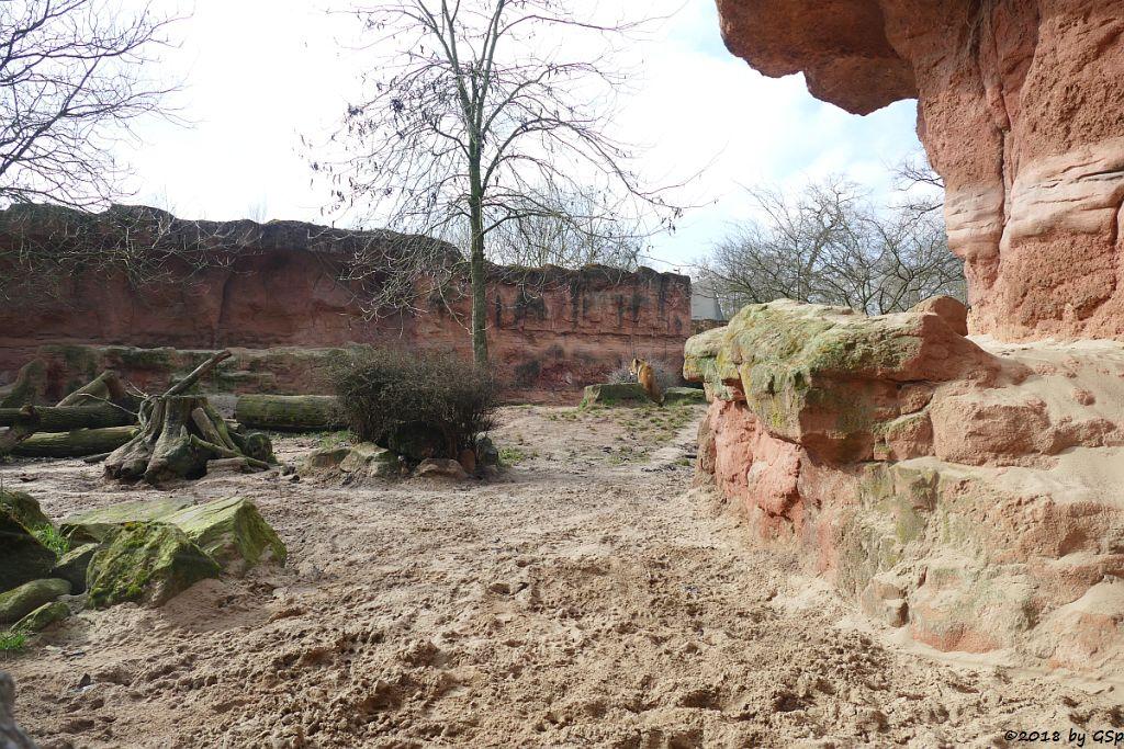 Berberlöwe (Atlaslöwe)