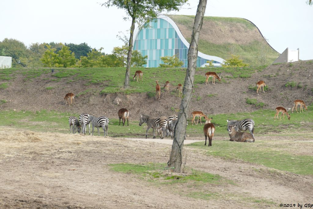 Böhm-Steppenzebra (Grant-Zebra), Defassa-Wasserbock Roter Wasserbock, Gewöhnliche Impala (Schwarzfersenantilope)