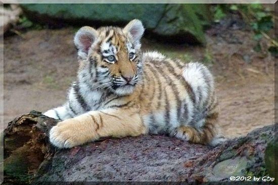 Sibirische Tigerin FINJA