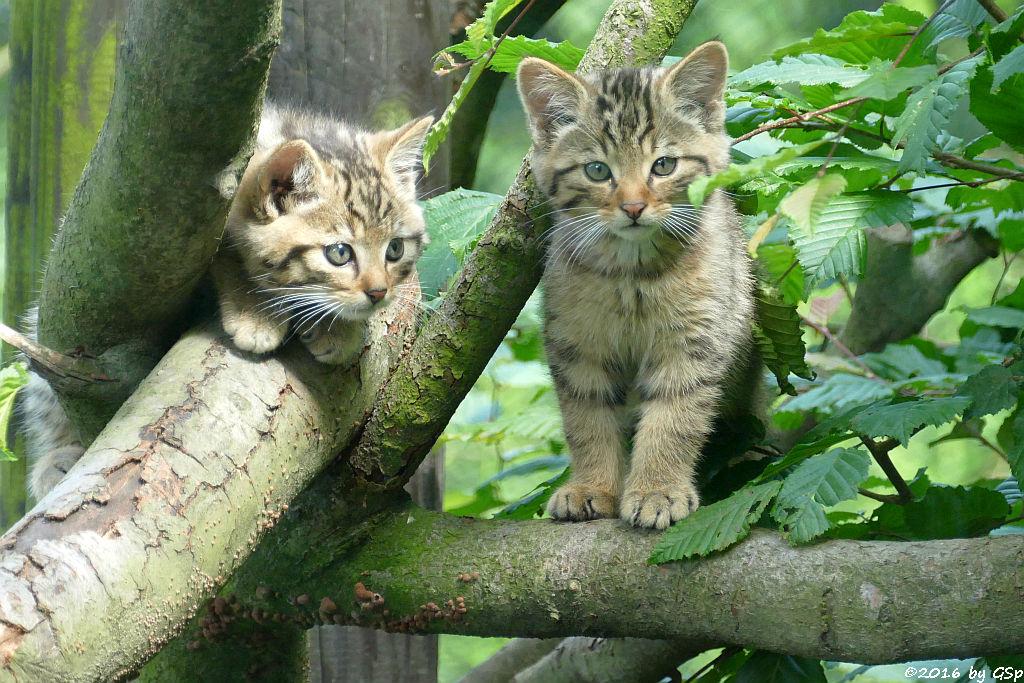 Mitteleuropäische Wildkatzen, geb. am 3.5.16