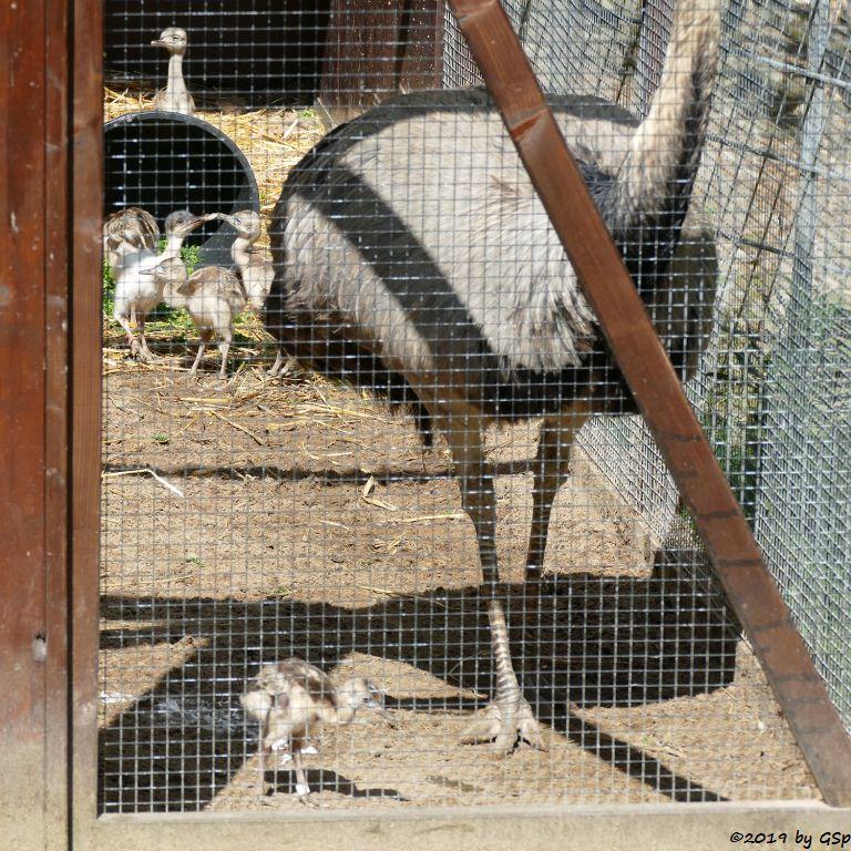 Nandu (Gewöhnlicher Nandu), Küken 1 Woche alt