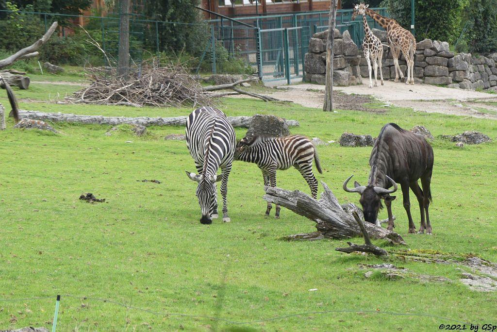 Böhm-Steppenzebra (Grant-Zebra) HELENA mit Tochter BAKARI, geb. 21.8.21, Südliches Streifengnu (Blaues Gnu), Rothschildgiraffe (Uganda-Giraffe, Baringo-Giraffe)