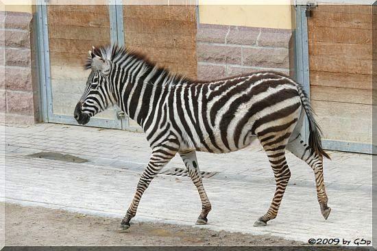 Böhm-Zebra