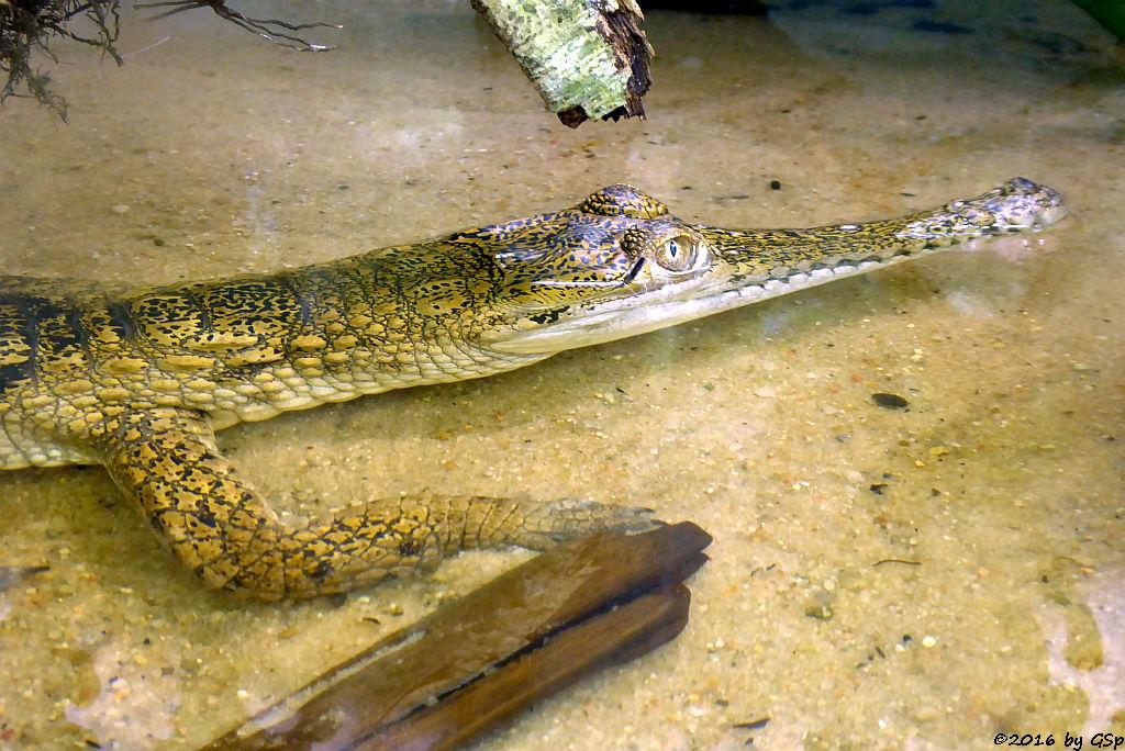 Australisches Süßwasserkrokodil