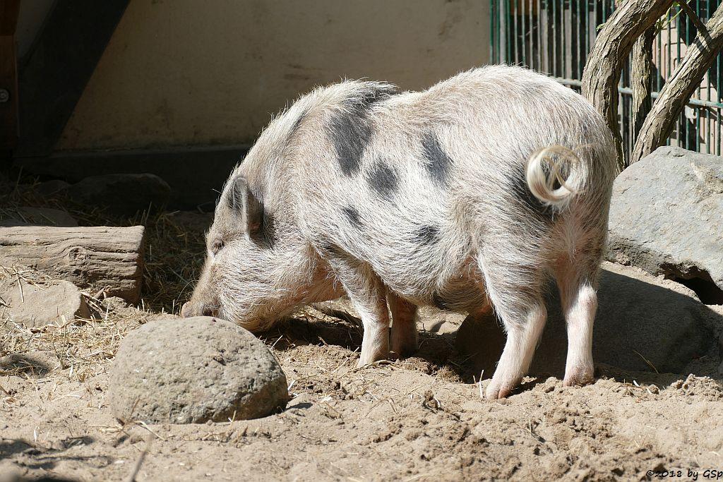 Mnipig (Zwergschwein)