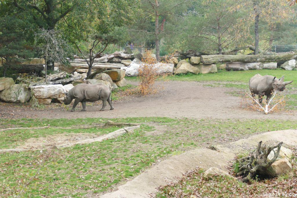Ostafrikanisches Spitzmaulnashorn (Östliches Spitzmaulnashorn)