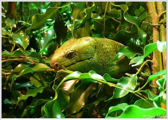 Salomonen-Wickelschwanzskink