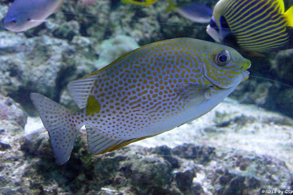 Goldfleck-Kaninchenfisch (Gefleckter Kaninchenfisch)