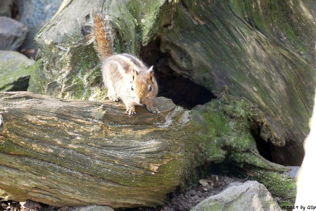 Chinesisches Zwergstreifenhörnchen (Chin.Baumhörnchen, Swonhoe-Zwergstreifenhörnchen)