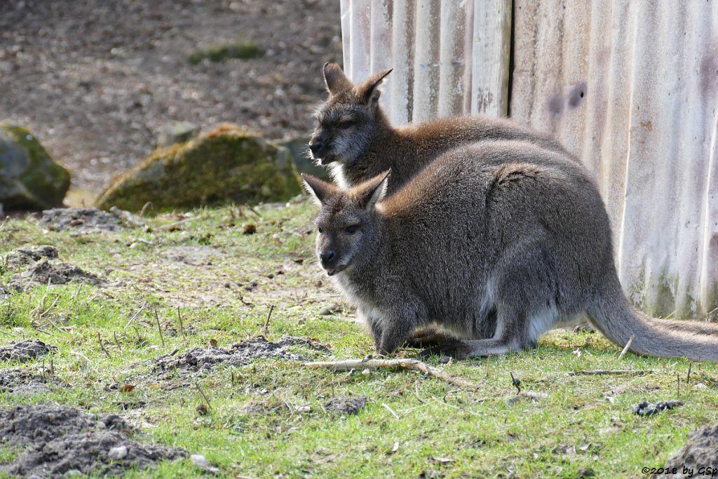Bennettkänguru (Rotnackenwallaby)