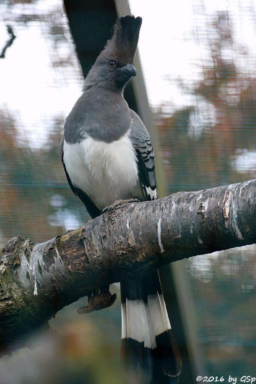Weißbauchlärmvogel