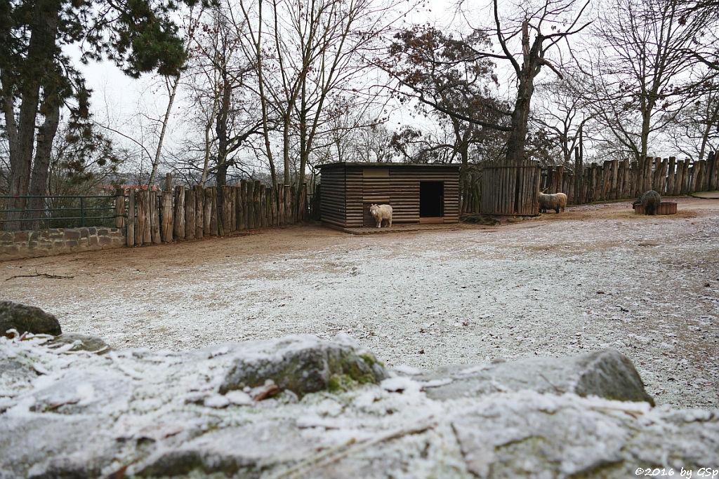 Angoraziege (früher Kamelziege), Ungarisches Zackelschaf