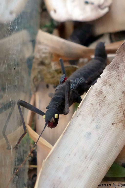 Samtschrecke (Samtstabschrecke, Rotgeflügelte Samtschrecke)